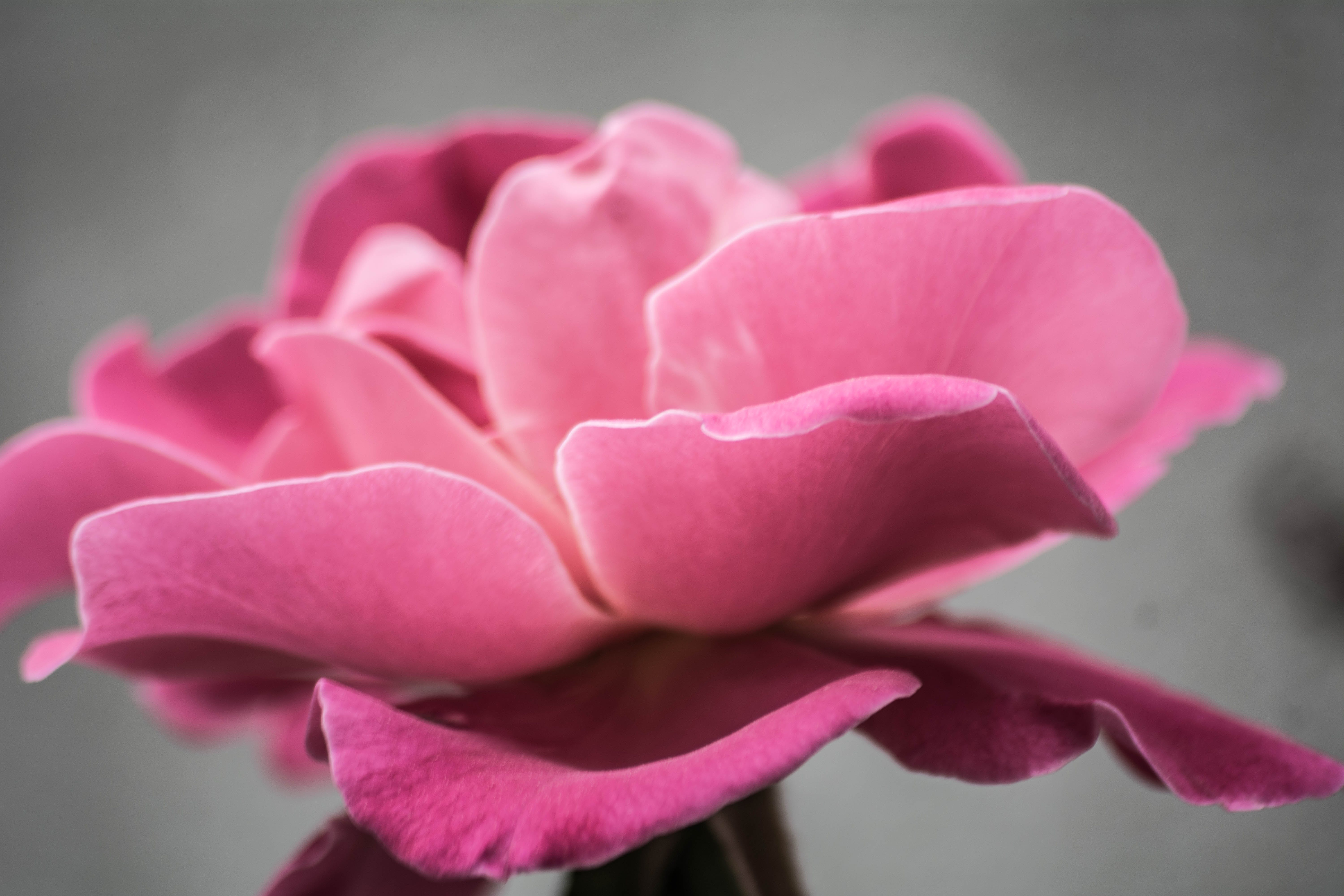 Photo of Pink Petal Flower