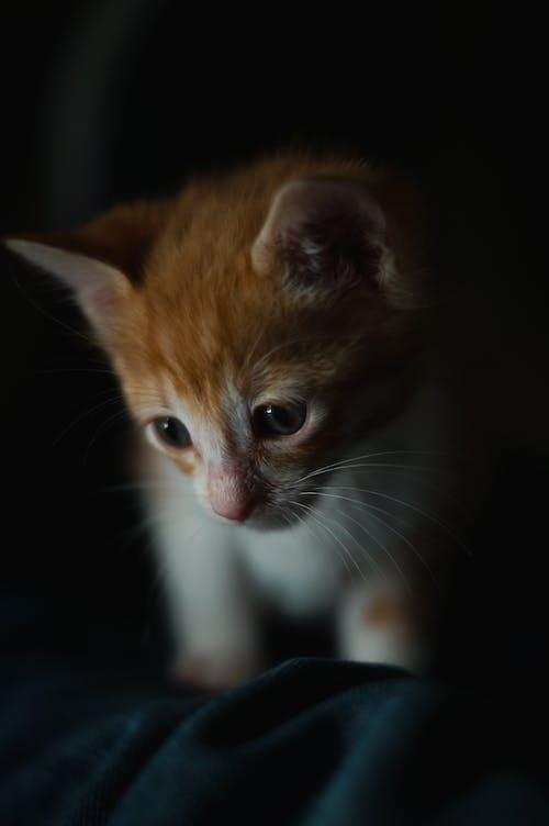 Ingyenes stockfotó áll, állat, aranyos, cica témában