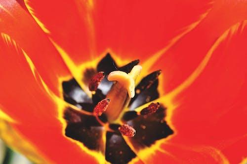 คลังภาพถ่ายฟรี ของ ดอกทิวลิป, ดอกทิวลิปสีแดง, ดอกไม้, ทิวลิป