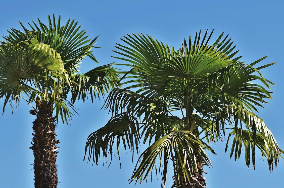 palmeblader, palmer, strand
