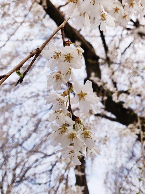 Gratis arkivbilde med fersken, fjær, hvit blomst, kirsebærblomster