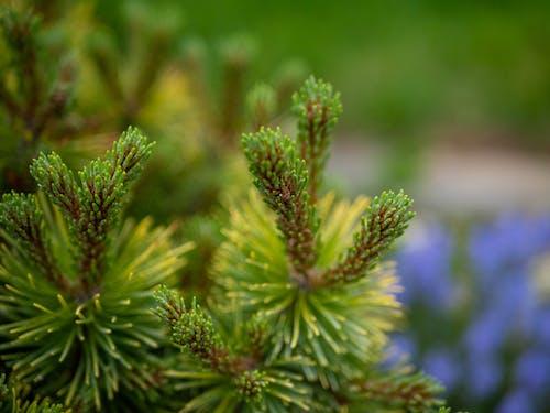 Ilmainen kuvapankkikuva tunnisteilla bokeh, kasvi, mänty, ruoho