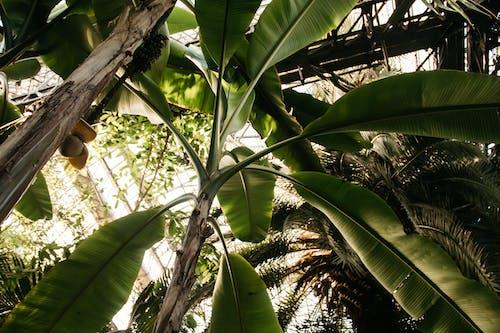 Kostnadsfri bild av banan, grön, lantbruk, löv