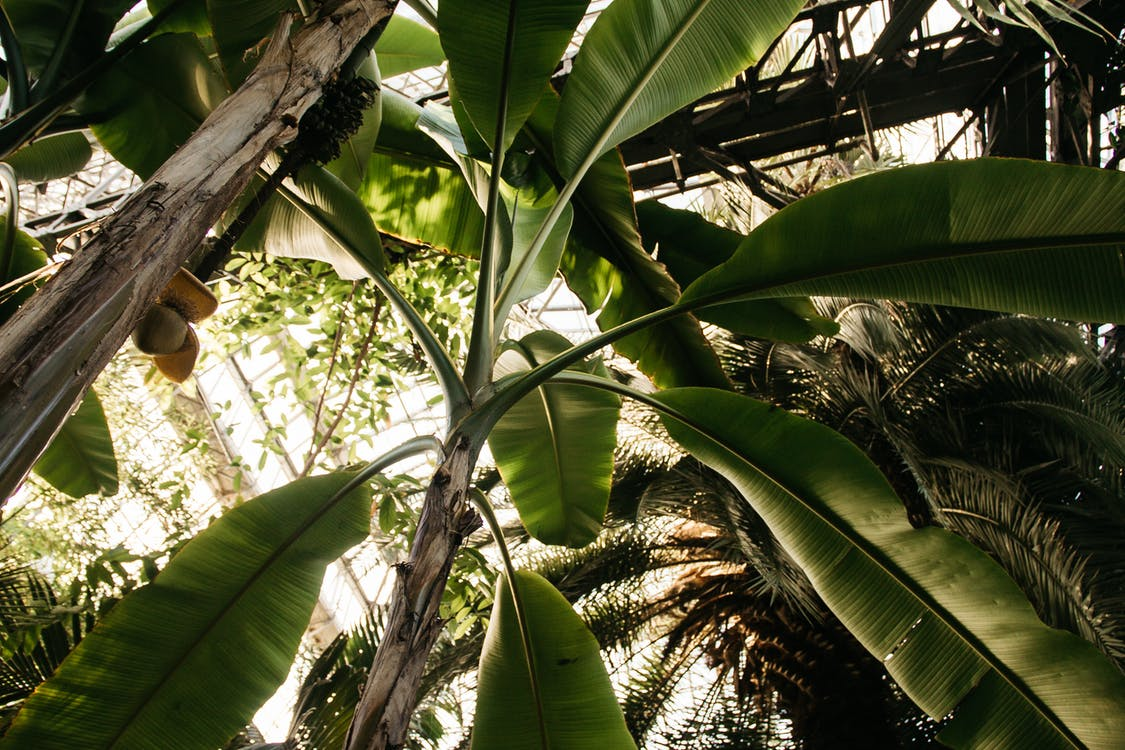 agriculture, arbres, banane