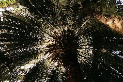 Foto d'estoc gratuïta de arbre, coco, planta