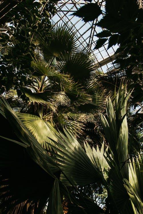 Kostenloses Stock Foto zu aufnahme von unten, bäume, blätter, chamaerops