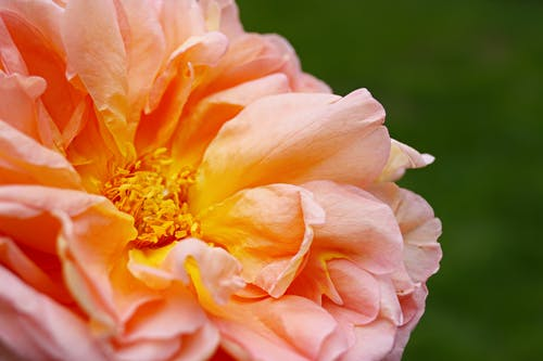꽃, 데이비드 오스틴 로즈, 배경, 봄 꽃의 무료 스톡 사진