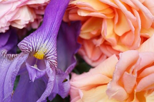 배경, 보라색 꽃, 분홍색 장미, 붓꽃의 무료 스톡 사진