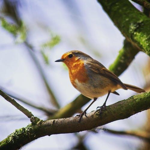 Ảnh lưu trữ miễn phí về #robin #bird #tree #branch #spring