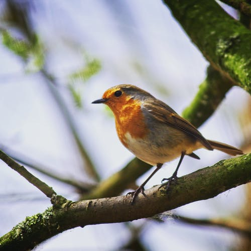 Foto d'estoc gratuïta de #robin #bird #tree #branch #spring