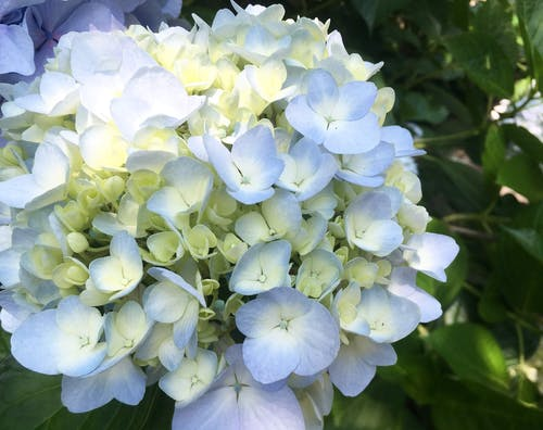 Free stock photo of flower, flowers, hydrangea, hydrangeas
