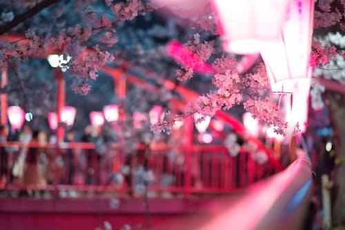 Základová fotografie zdarma na téma flóra, jaro, květ třešně, květiny