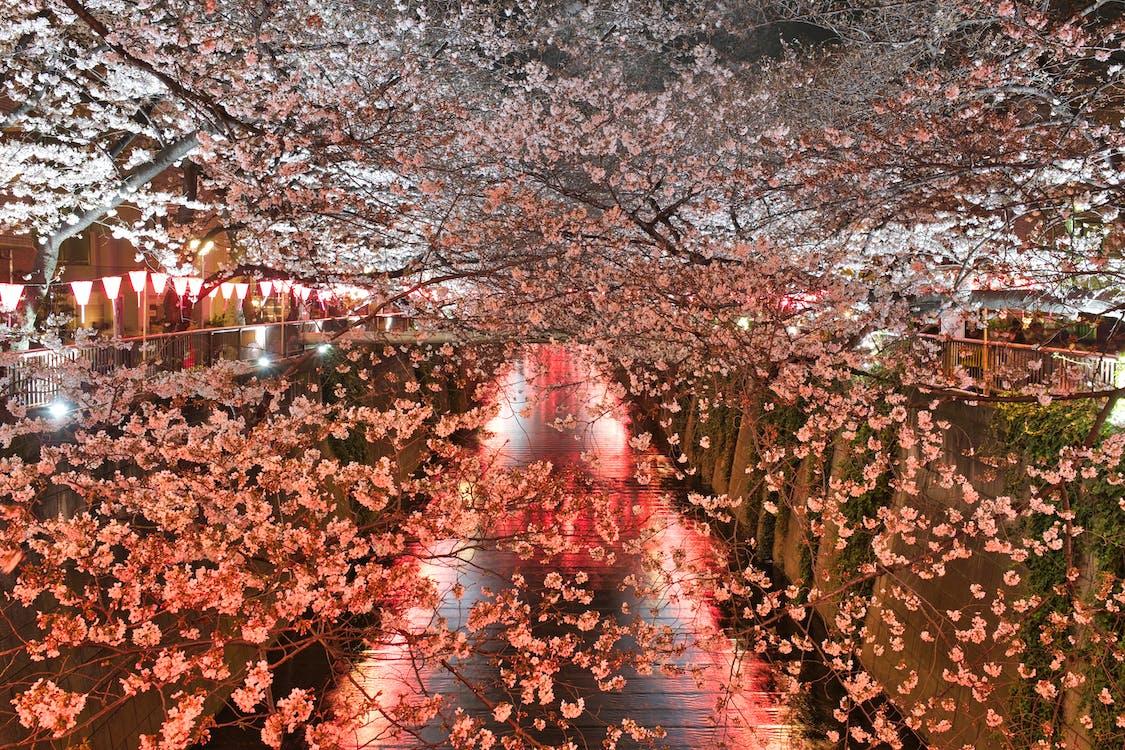 kasvikunta, kirsikankukka, kukat