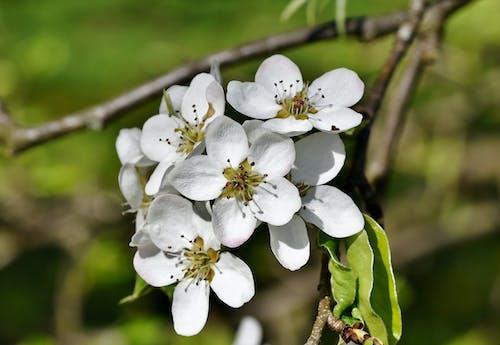 คลังภาพถ่ายฟรี ของ กลีบดอก, ดอกไม้บาน, เบ่งบาน, แพร์