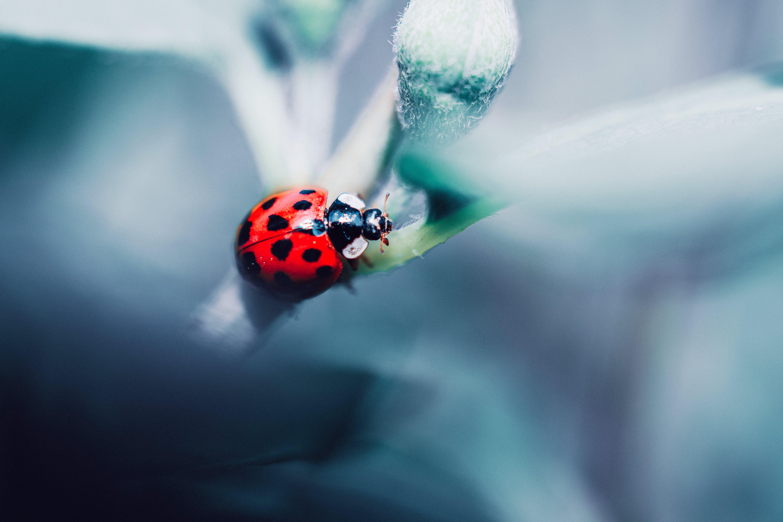 Základová fotografie zdarma na téma beruška, brouk, hmyz, makro