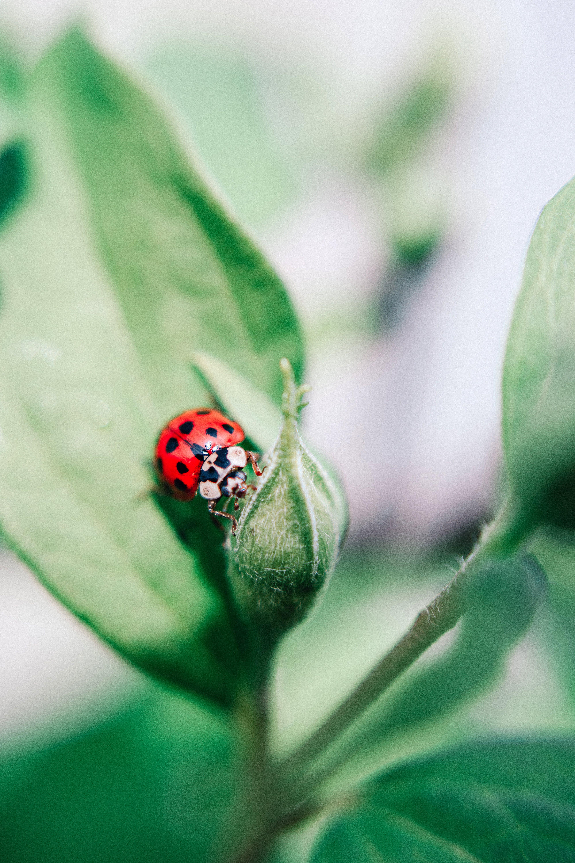 Základová fotografie zdarma na téma beruška, brouk, hmyz, list