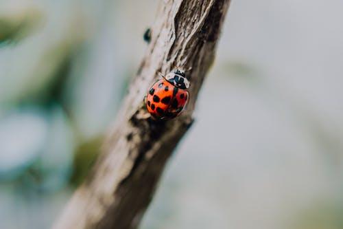 Imagine de stoc gratuită din animal, automobil beetle, buburuză, crenguță