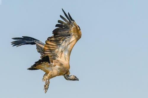 Fotos de stock gratuitas de águila, al aire libre, alas, animal