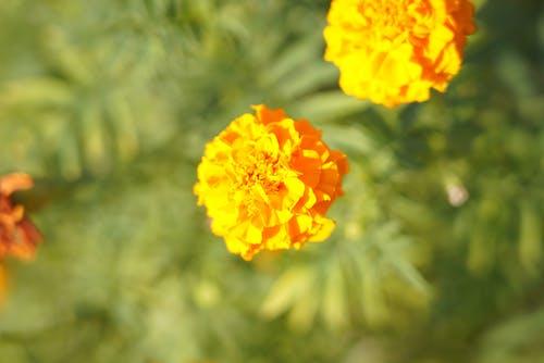 Free stock photo of 2 flowers, golden yellow, marigold