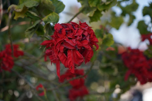 Free stock photo of beautiful flowers, red, red flowers