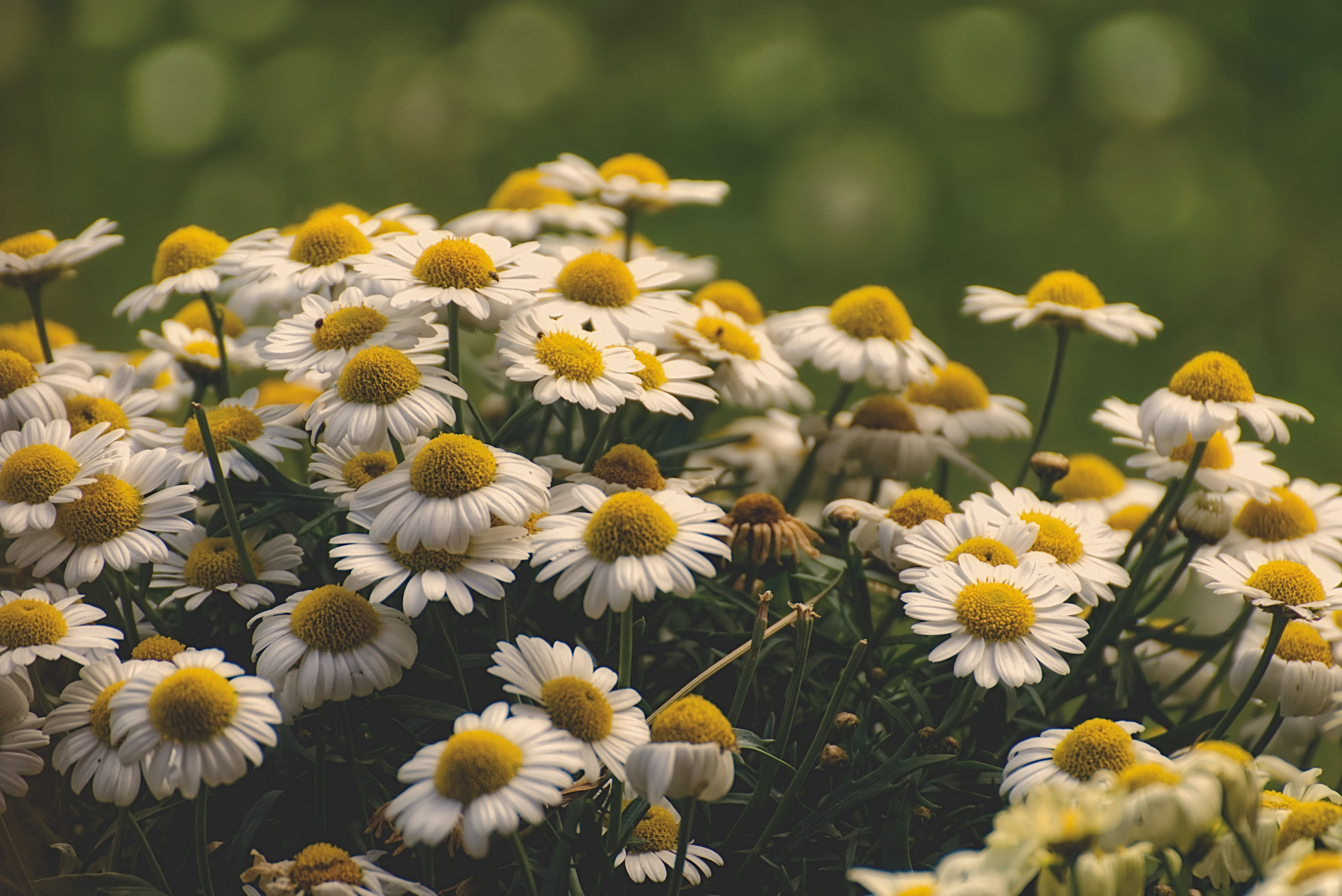 Blooming White and Yellow Daisy Flowers