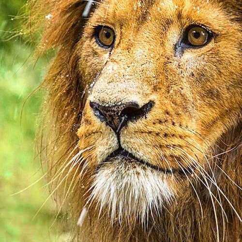 Foto profissional grátis de animal, cara, close, leão