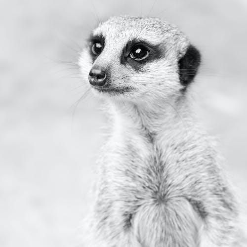 Fotos de stock gratuitas de animal, blanco y negro, cara, primer plano