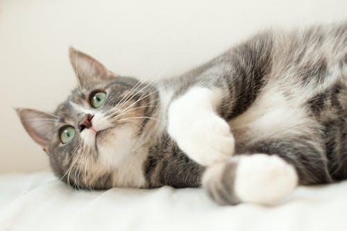 Darmowe zdjęcie z galerii z beżowy, delikatny, kłamanie, kot