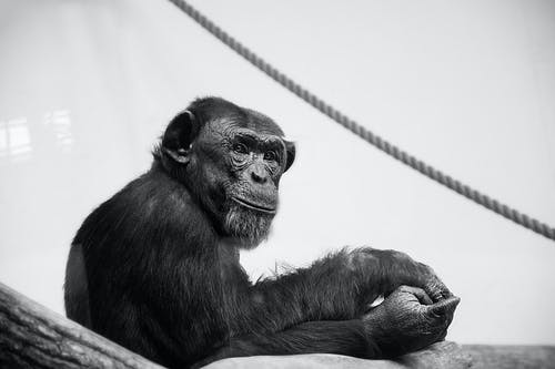 Grayscale Photo of Chimpanzee