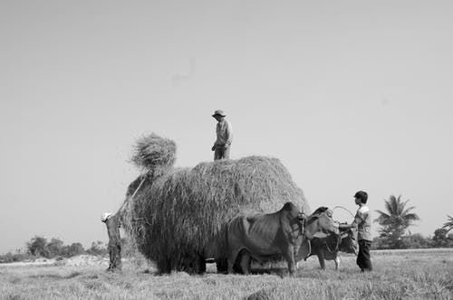 Grayscale Photo of People Stacking Hays