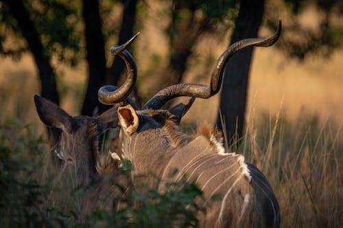 Základová fotografie zdarma na téma Afrika, antilopa, divočina, divoká zvířata