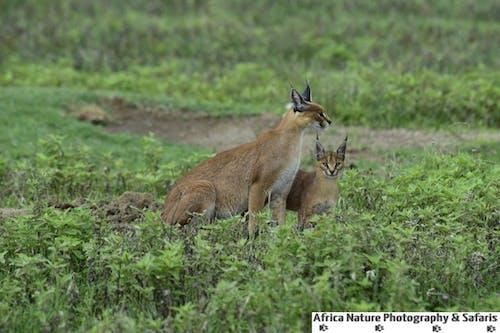 Free stock photo of tanzania safari, tanzania safari packaages, tanzania safari tours, wildlife photography