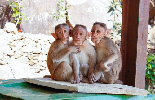 3 Monkeys on Brown Wooden Palette