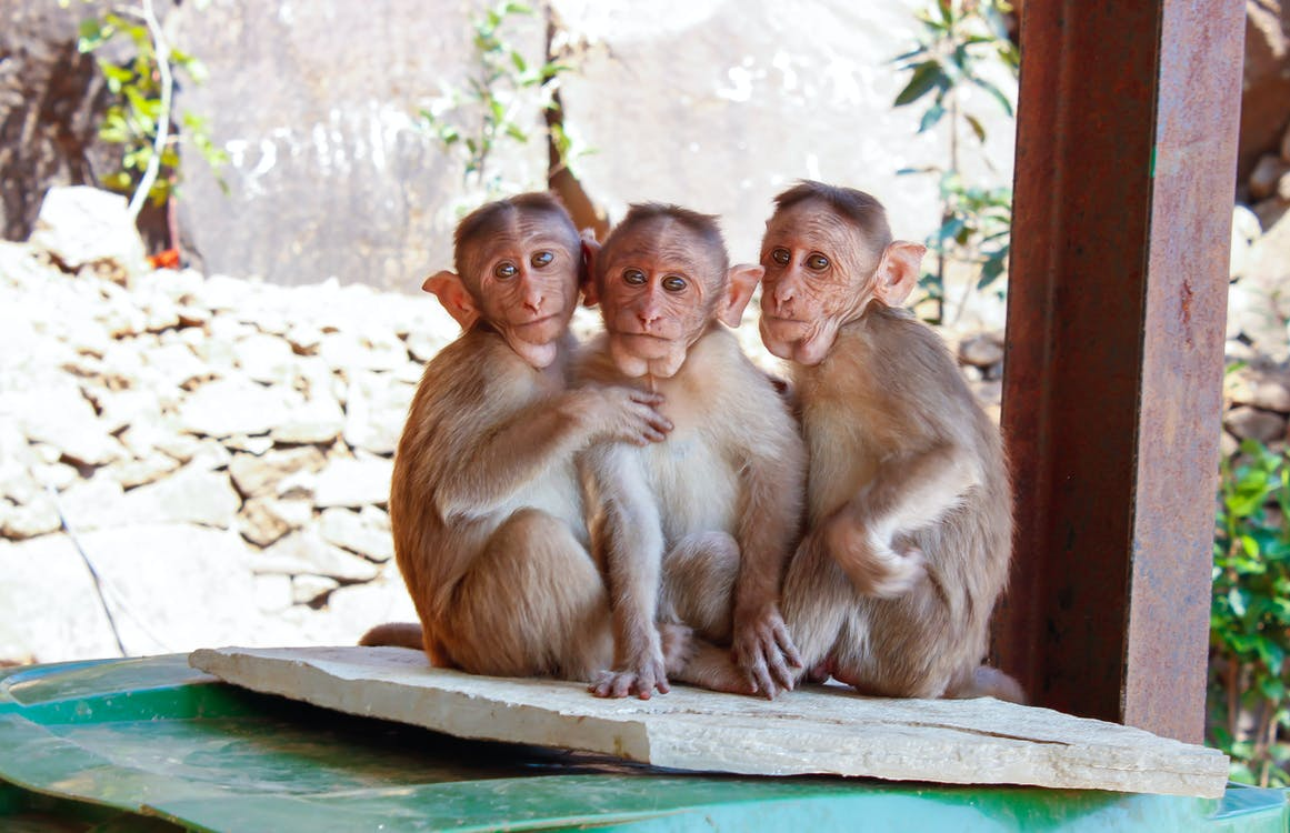 3 Monkeys on Brown Wooden Palette