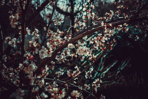 White Plum Tree Photo