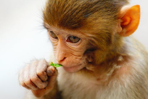 Baby Monkey Eating a Leaf