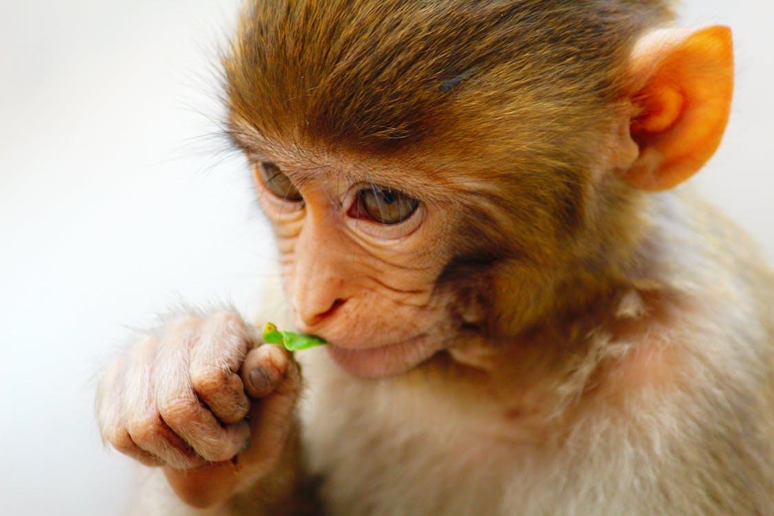 Baby Monkey Eating a Leaf