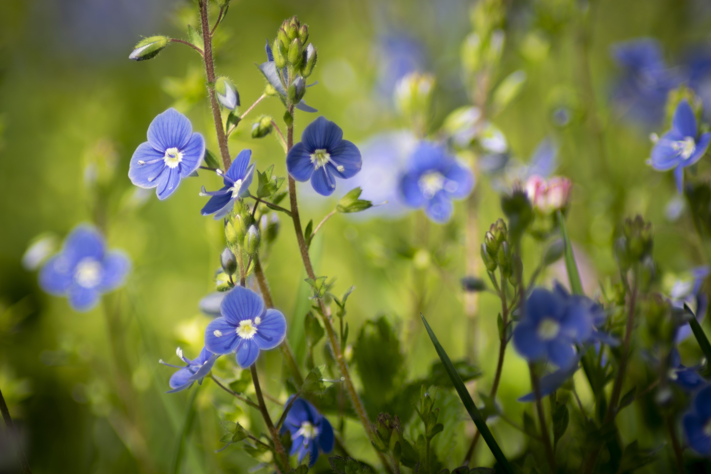 Gratis stockfoto met blauwe bloem, veronica