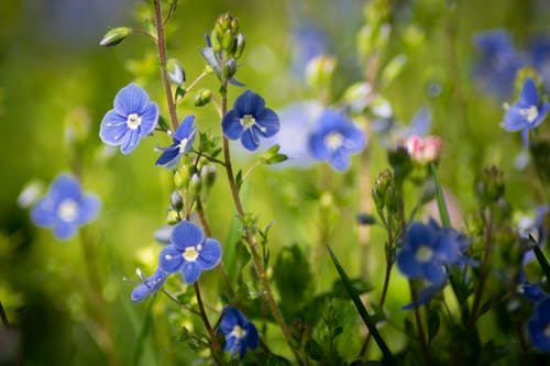Free stock photo of blue flower, veronica