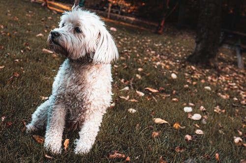Kurzbeschichteter Weißer Hund Auf Grasfeld