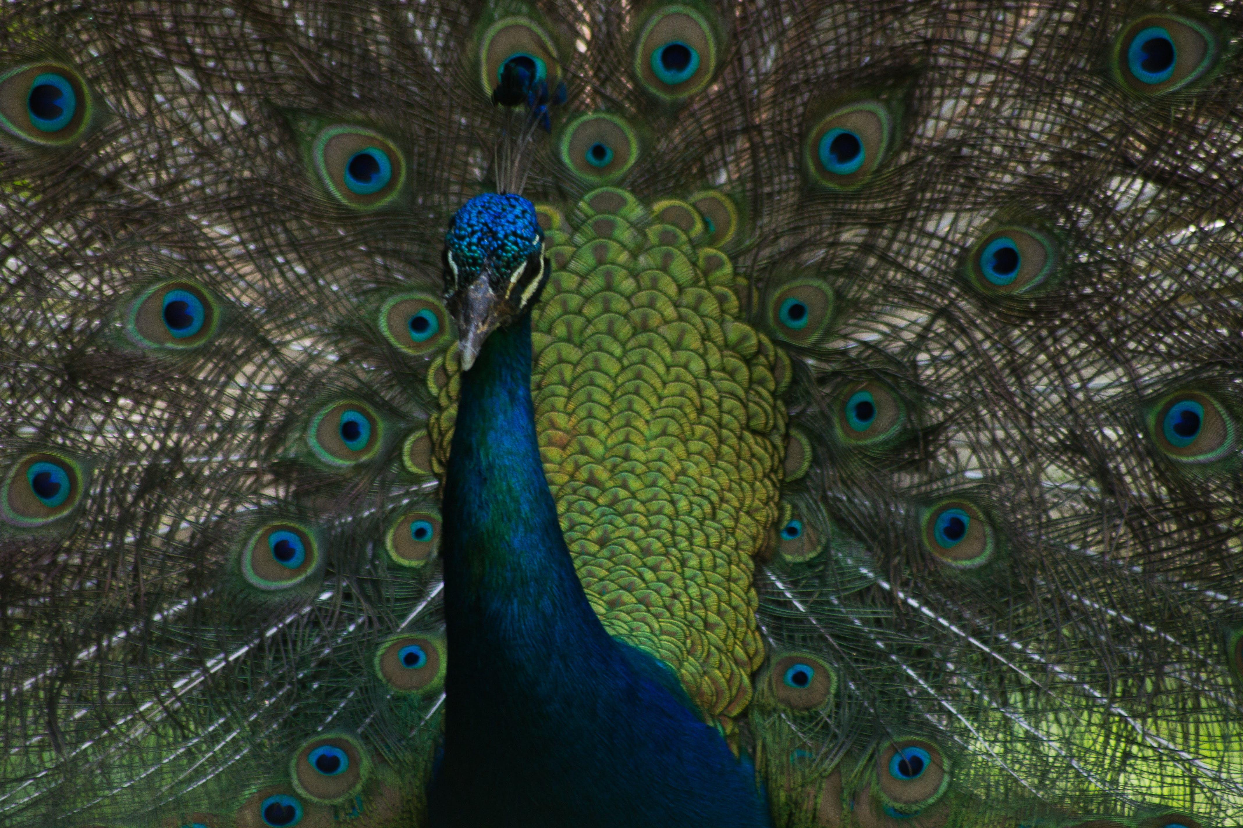 Foto profissional grátis de azul, olhos atraentes, pavão, penas de pavão