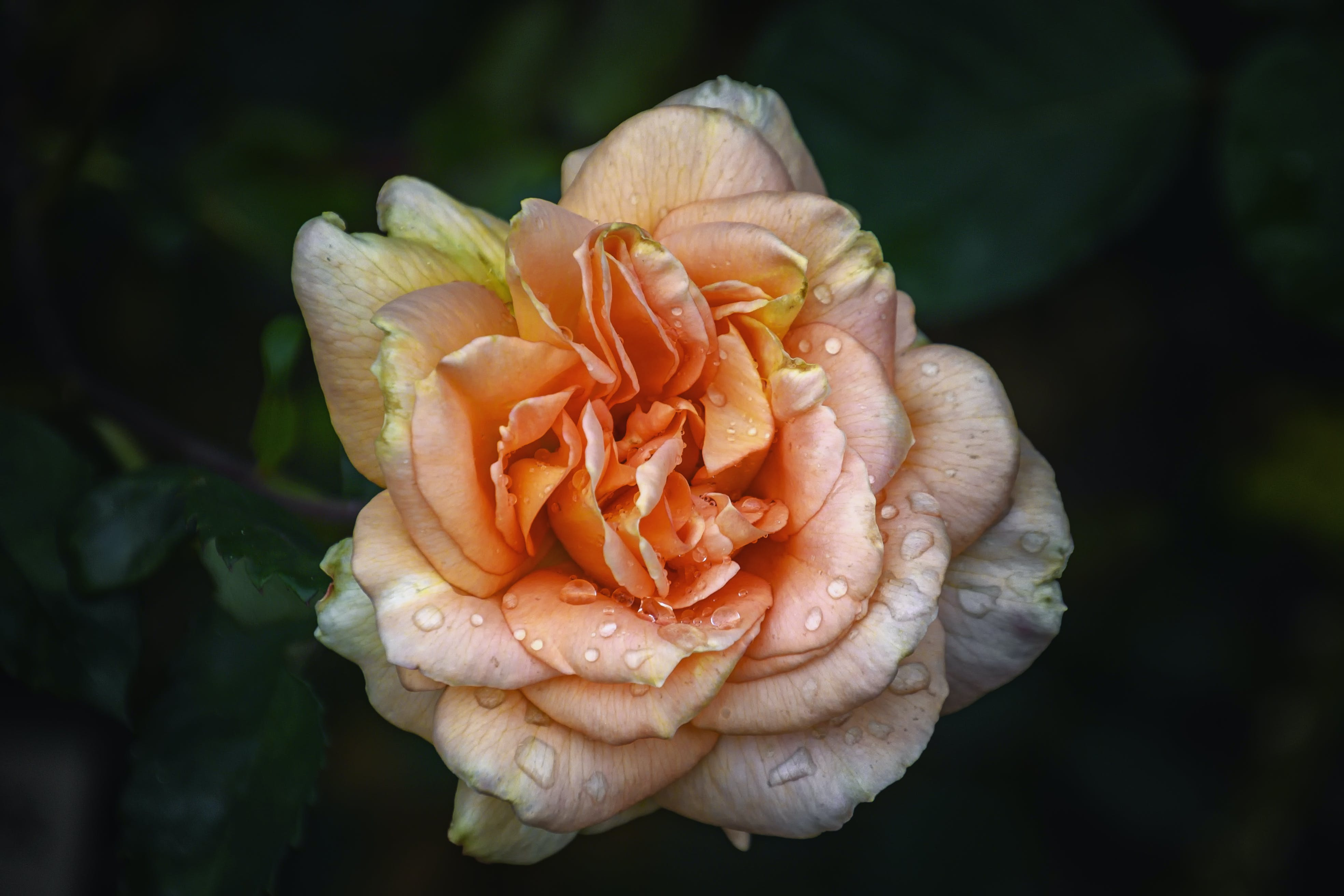 Free stock photo of bloom, faded, rose