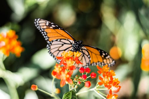 Orange And Black Butterfly On Flowers