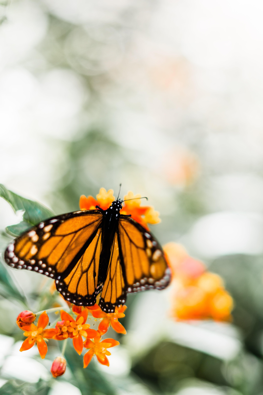 Foto profissional grátis de borboleta, flora, flores, inseto