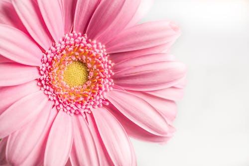 Foto stok gratis berkembang, bunga, flora, gerbera