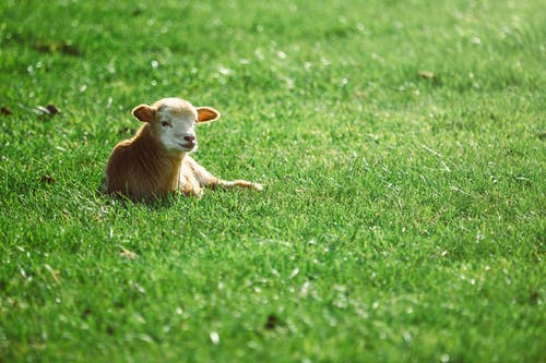 Photo of Cattle Lying On Grass