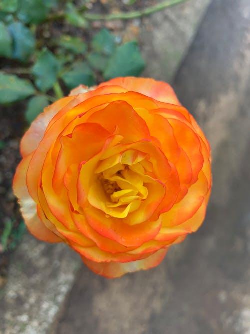 玫瑰 的 免费素材图片