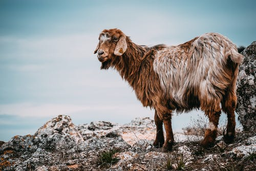 Brown Goat on Gray Rocks