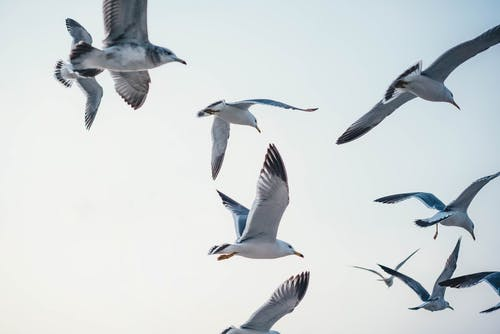 Photo of Flying Seagulls