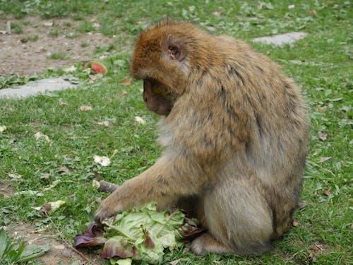 Free stock photo of animal, ape, barbary ape, monkey mountain